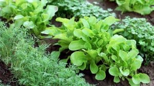 Companion Planting Vegetables and Herbs in Rows Dill, lettuce and cilantro