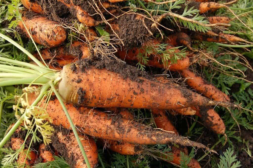 Growing carrots in the vegetable garden
