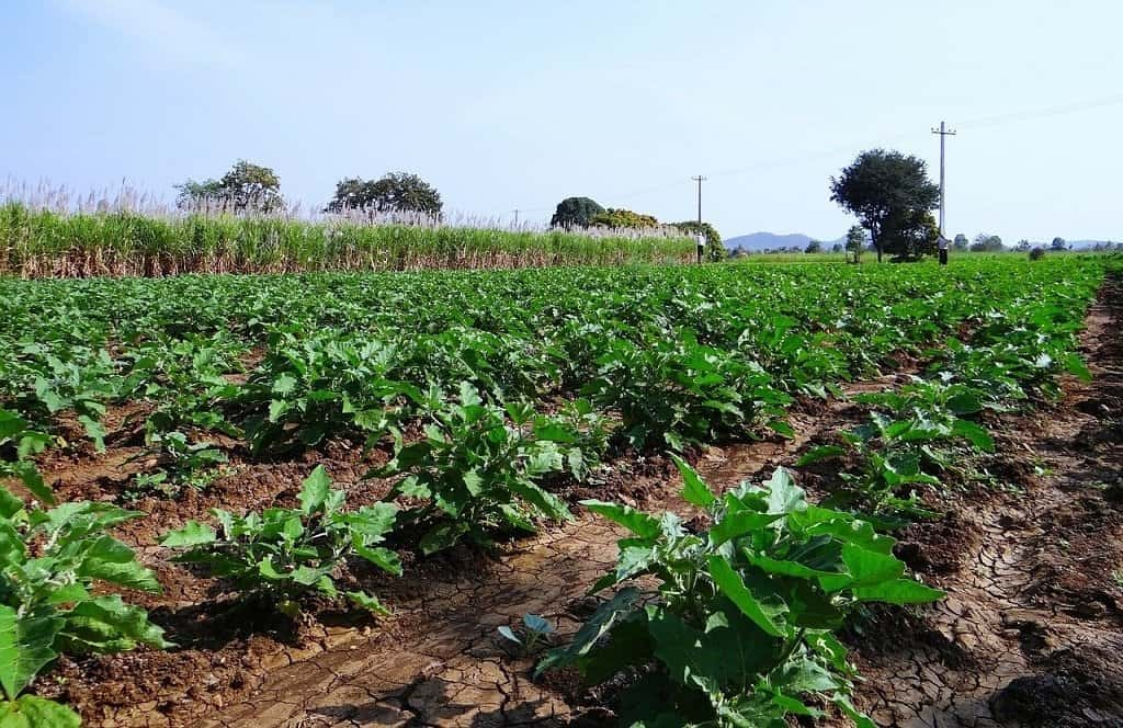 Growing Eggplant in Monoculture plots
