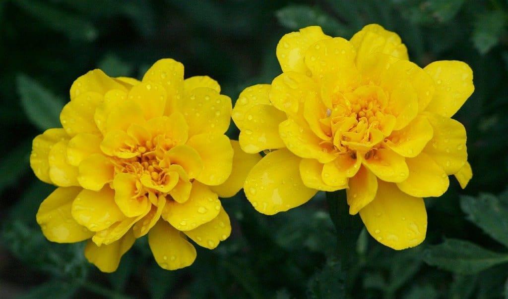 Marigolds are popular companion plants in the veggie garden