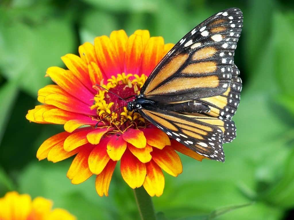 Monarch on a bi-colored zinnia in the vegetable garden