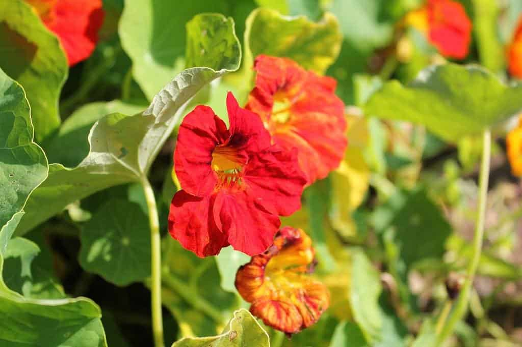 nasturtiums in the veggie plot