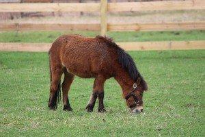 Mini Horse grazing in the field