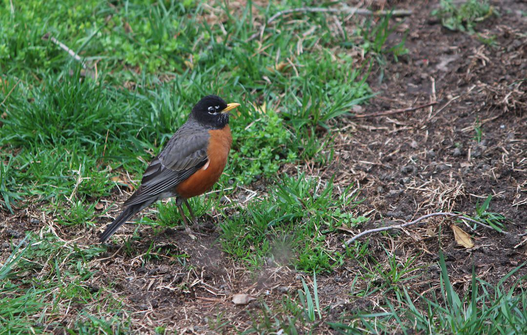 Robins in early spring