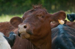Cow manure is an excellent source of organic material for the compost pile