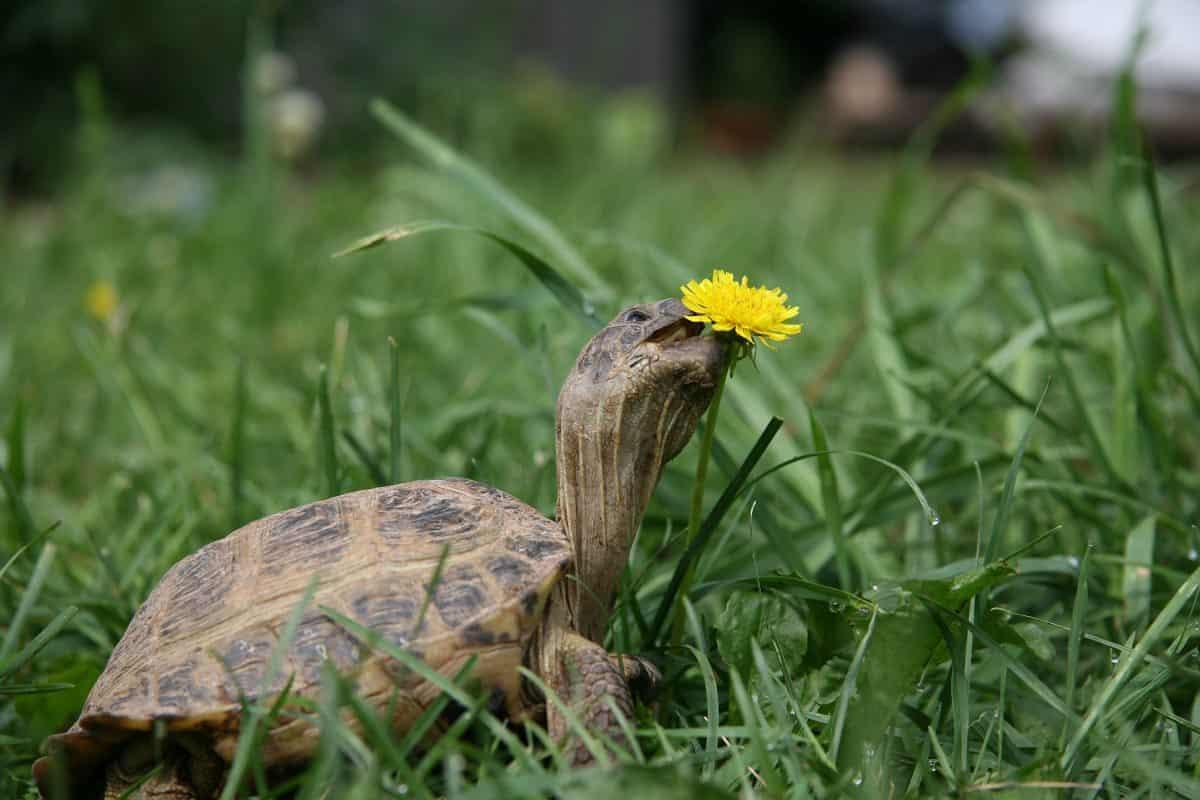 Turtle eating dandilion in lawn