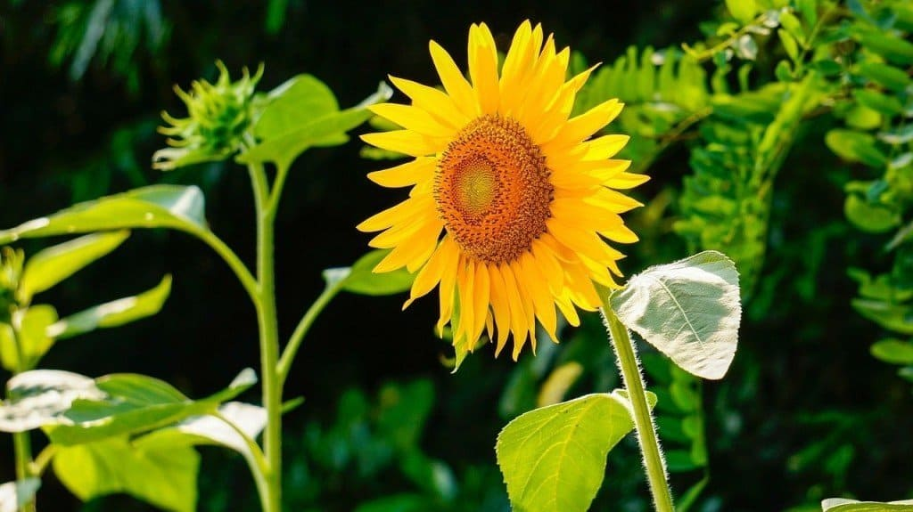 Bright sunflowers are excellent additions to the summer garden