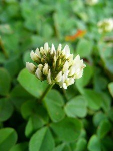 Clover - companion plant used in organic pest control