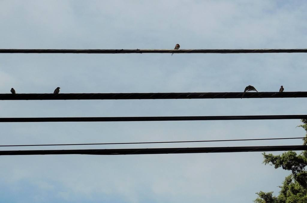Barn-Swallows-Visting