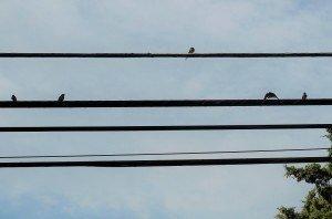 Barn-Swallows-Visting