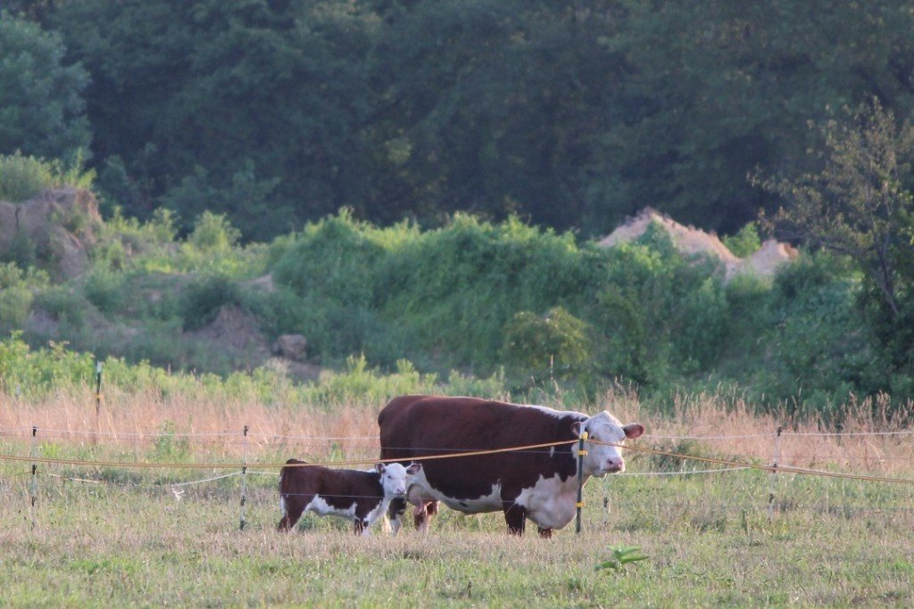 brown and white cow in the field with a young calf