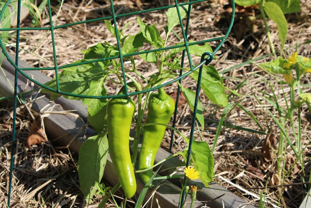 long green italian pepper growing in a vegetable cage