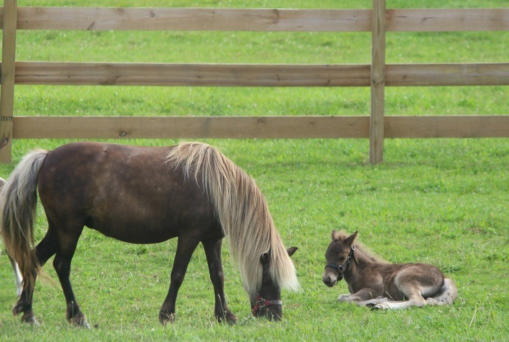 mini horse and her newborn foal