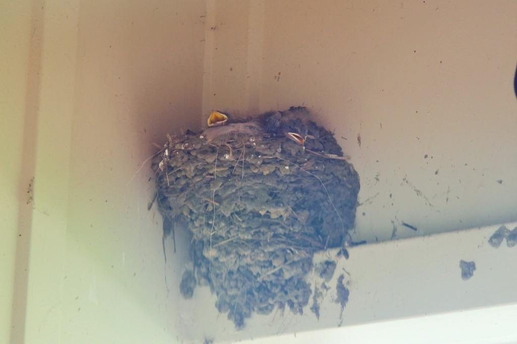 barn swallow nest with baby beak peaking out of it