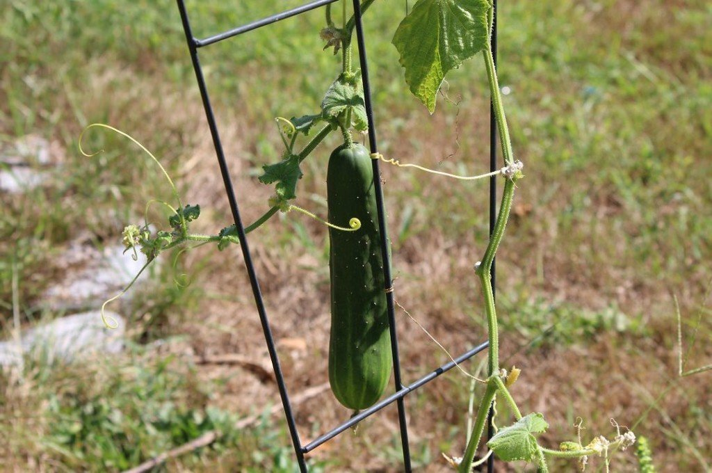 cucumber growing on the vine
