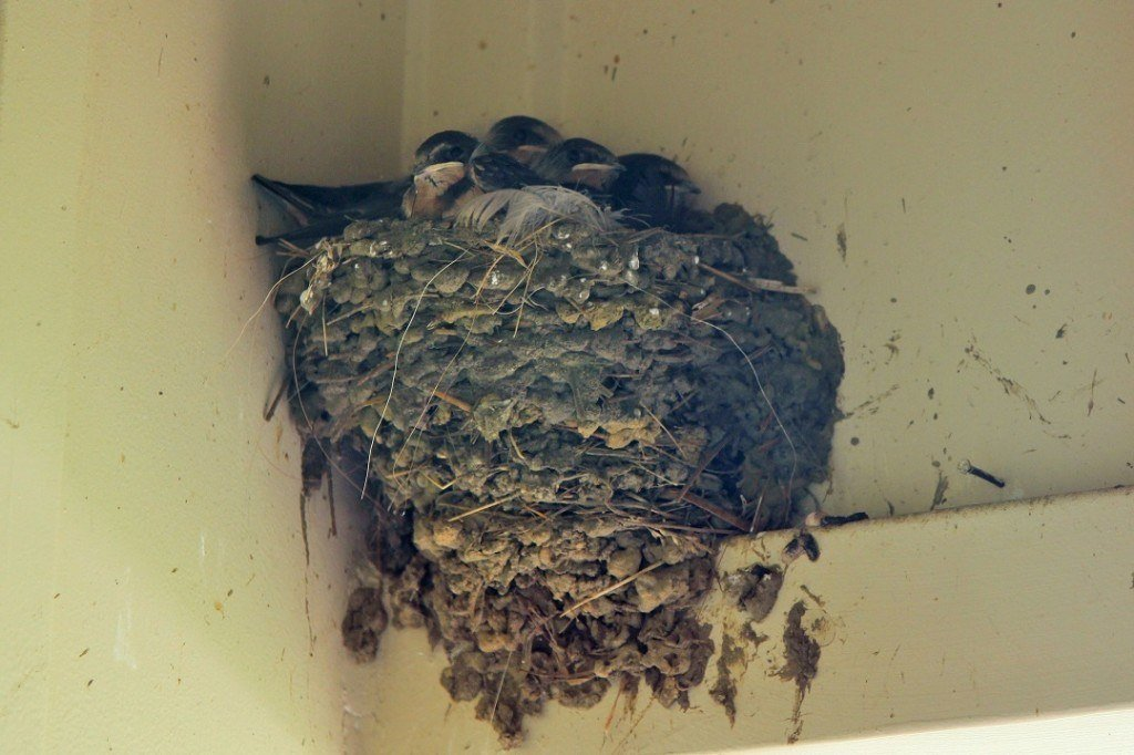 barn swallows huddling in their muddy nest