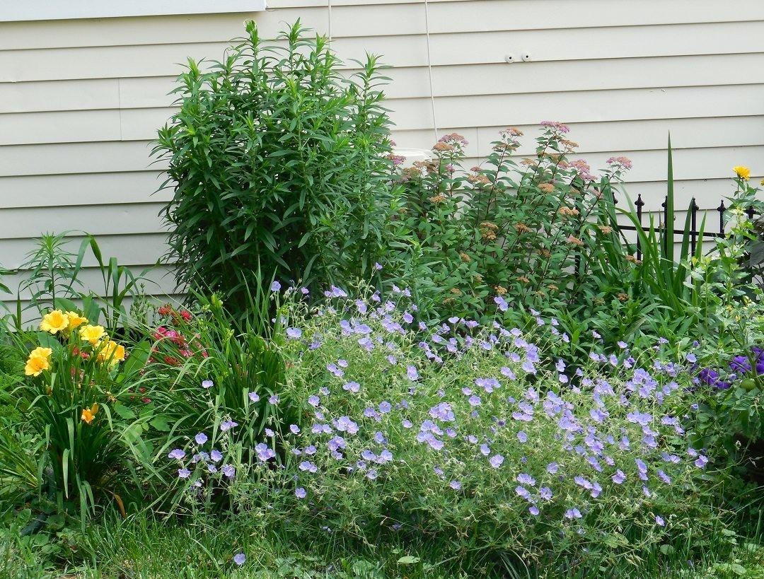 blue geraniums in full bloom