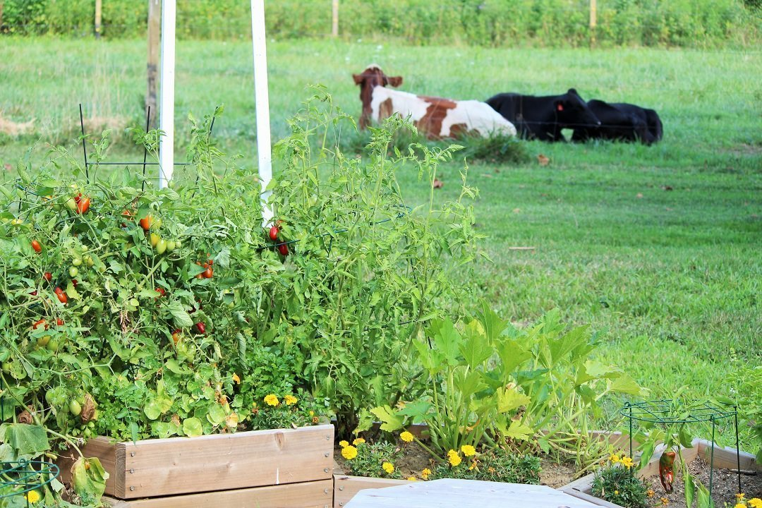 2 cows laying down near my vegetable garden