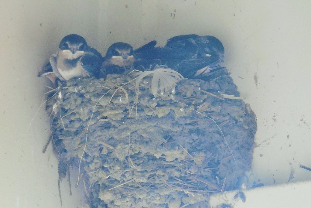 barn swallows perched on the edge of the nest ready to fly
