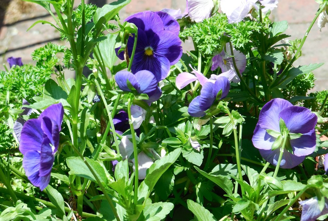 big blue violas with parsely growing in the background