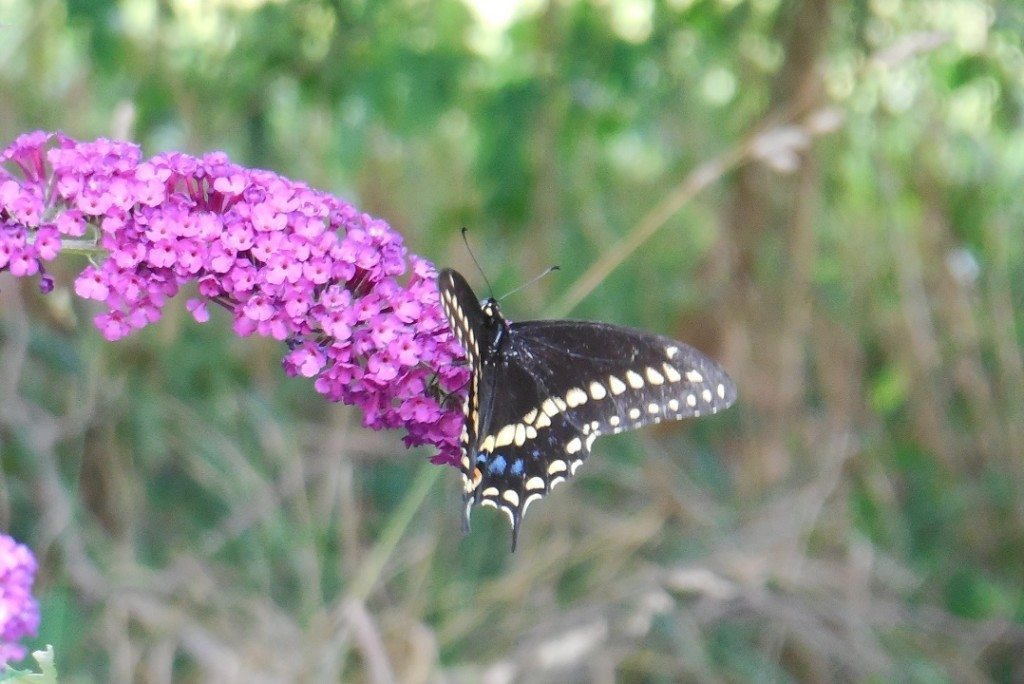 black gold and blue butterfly eating necter from a purple butterfly bush