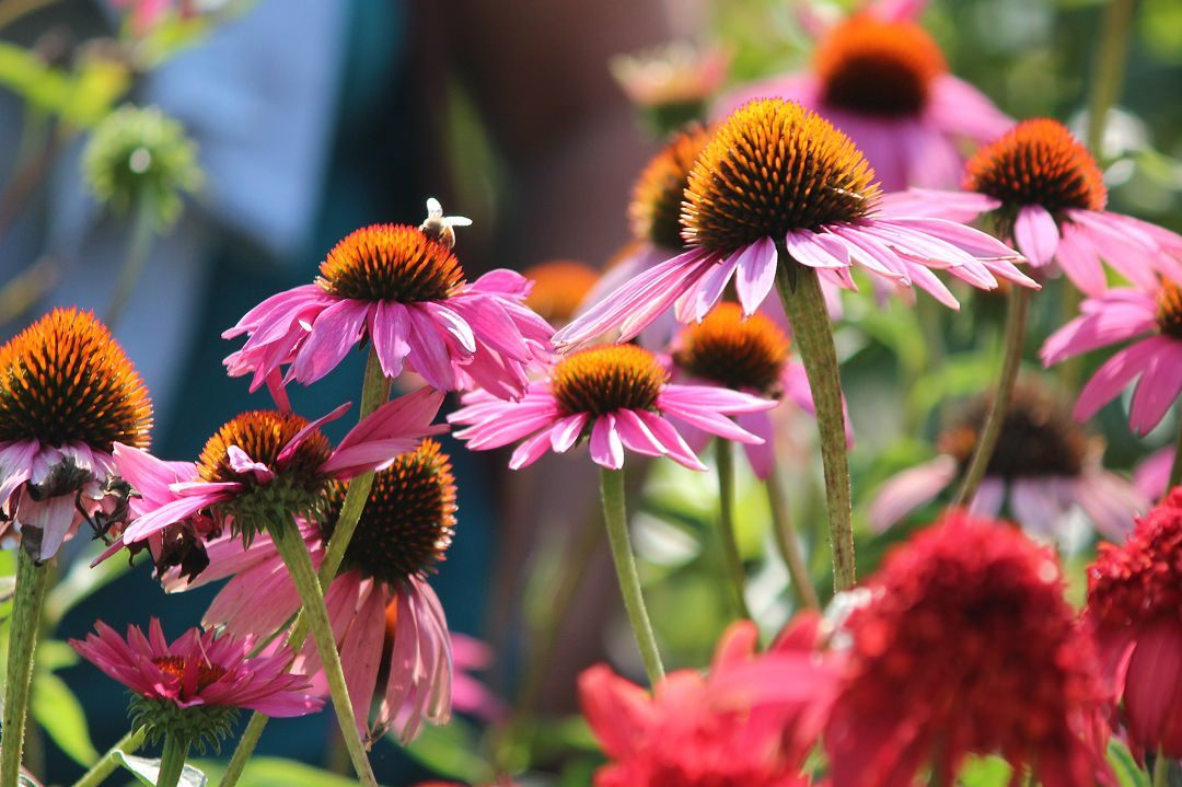 bright purple coneflowers blooming