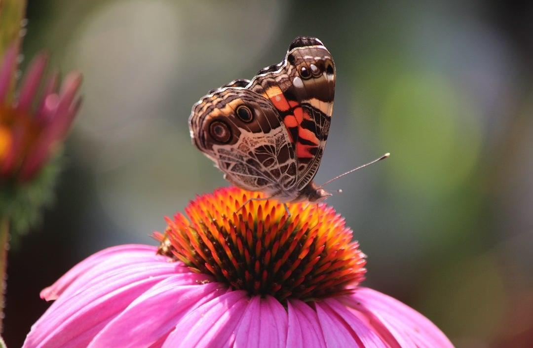 an orange and brown butterfly feeding from a purple coneflower
