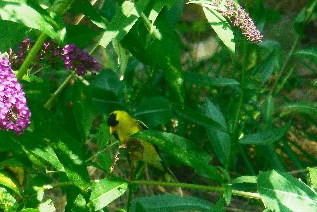 goldfinch eating seeds from a spent daisy