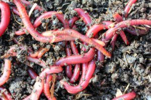 red wiggler worms are great for composting