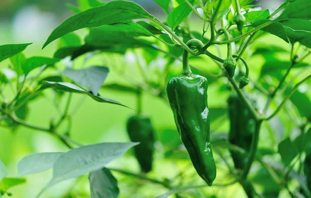jalepeno pepper plant