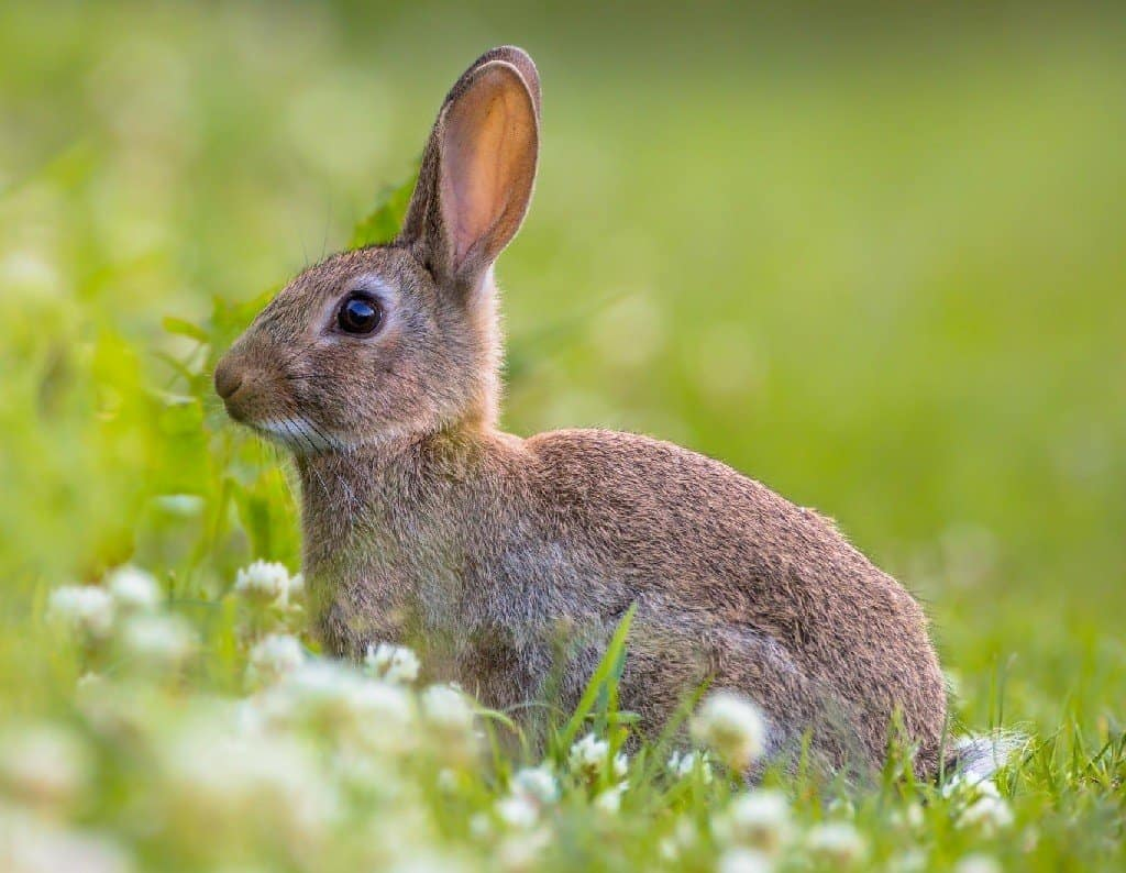 rabbit in the grass and clover