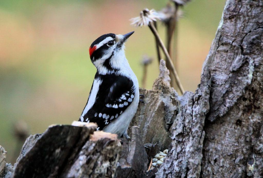 woodpecker in tree