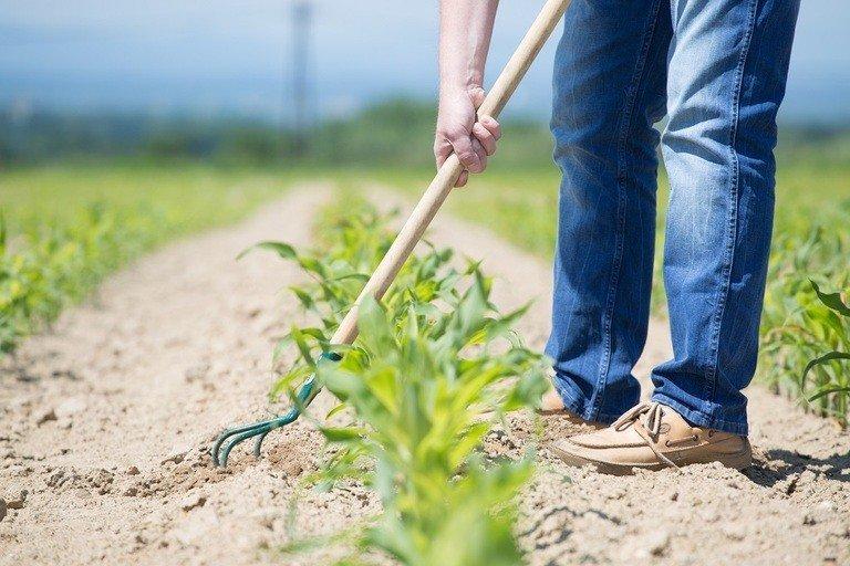 man tilling between rows with a hand tiller