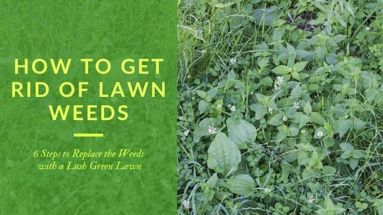 weedy lawn with title - How to get rid of lawn weeds