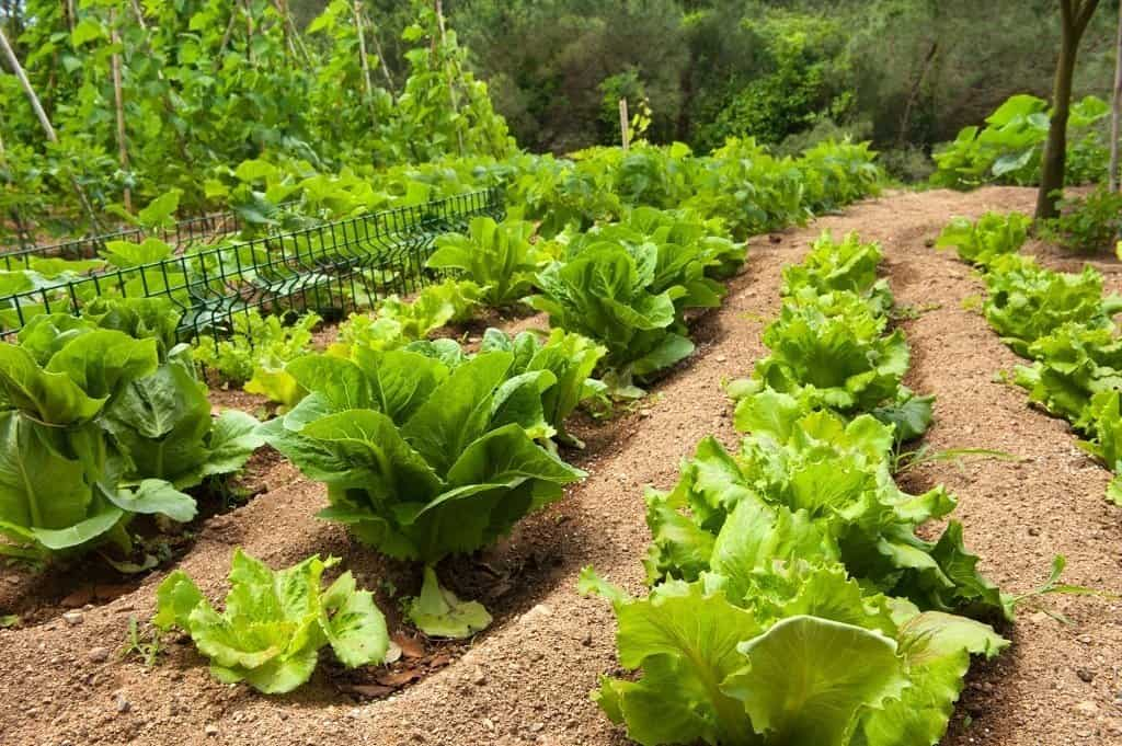 rows of lettuce in a large garden plot