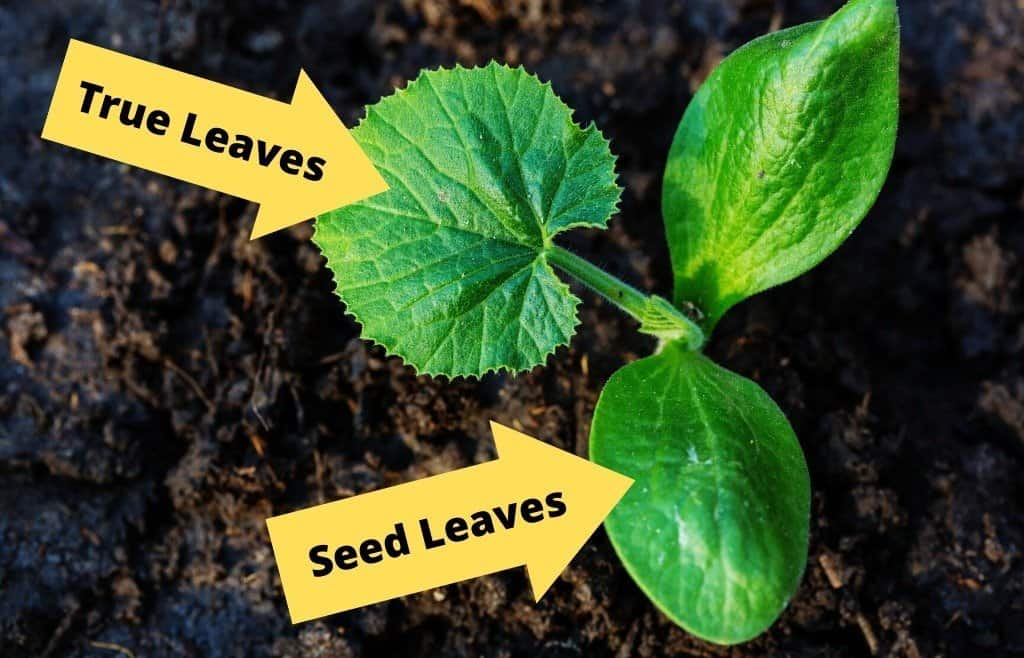 comparison seed leaves and true leaves