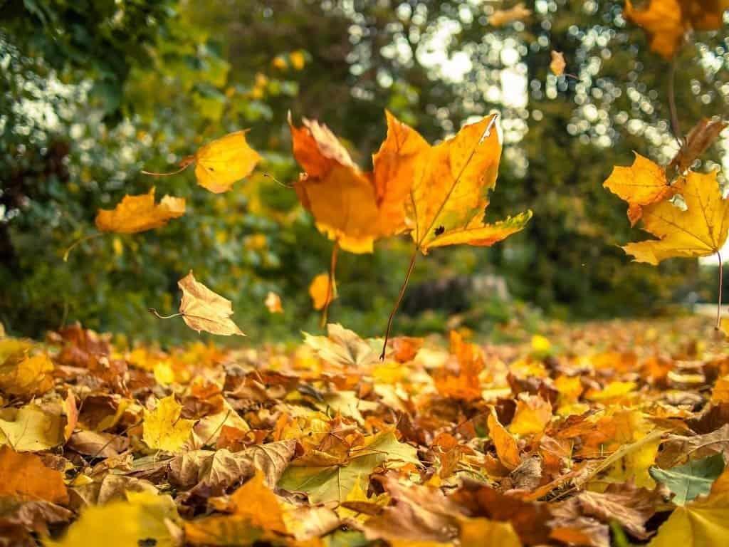 falling leaves in the backyard