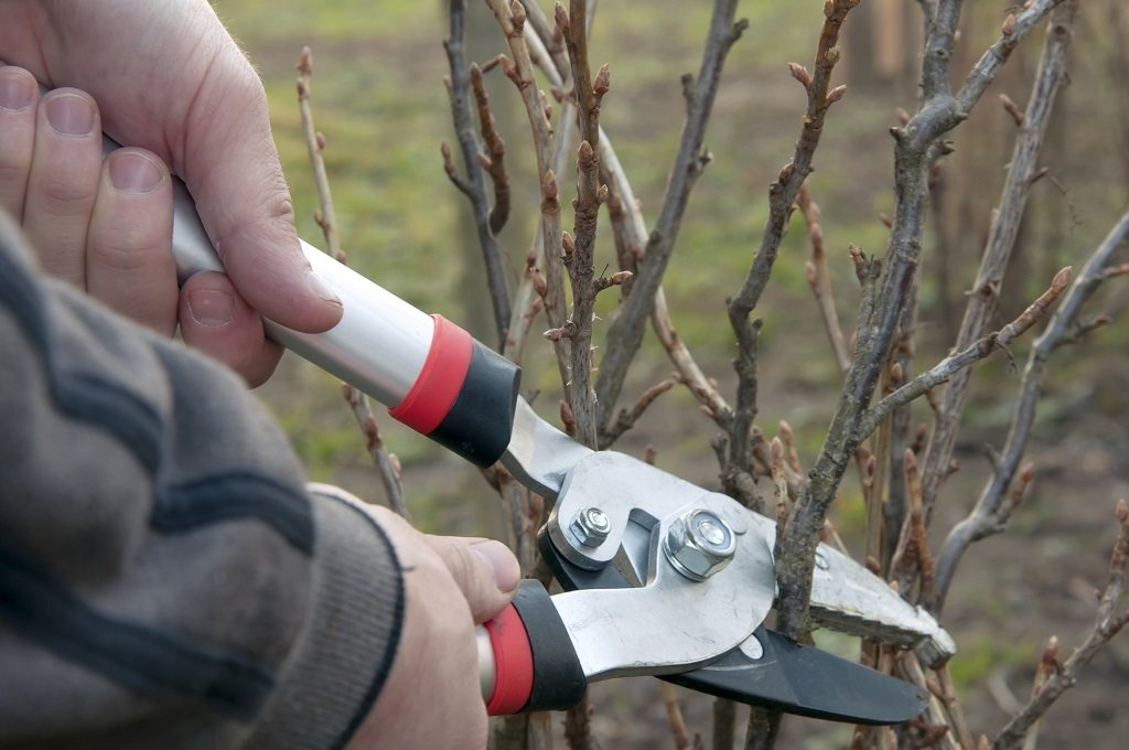 man pruning a tree with loppers