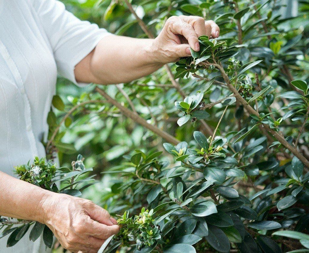 woman checking the shape and thickness of her shrub's branches