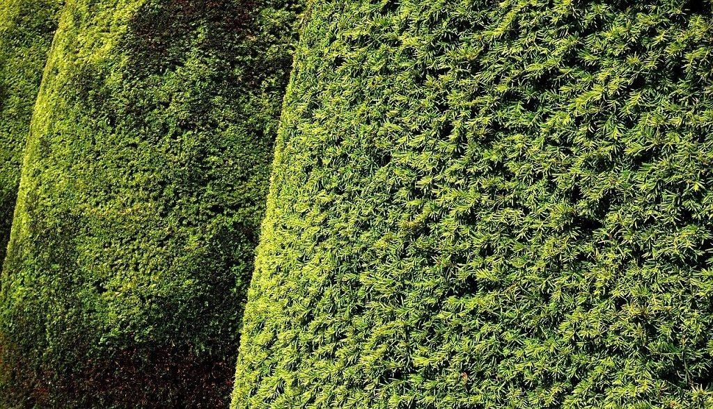 yew bushes trimmed into a clean uniform shape