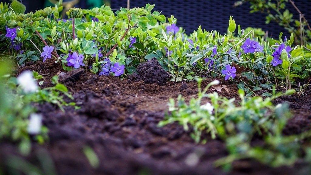 bright purple flowers growing in rich garden soil