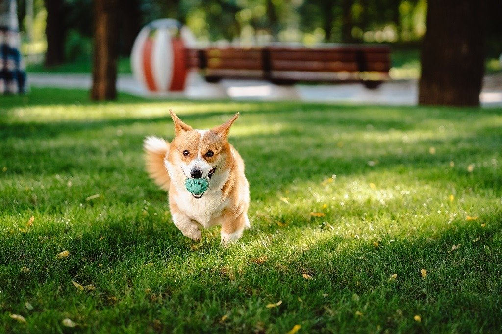 happy dog running on green lawn