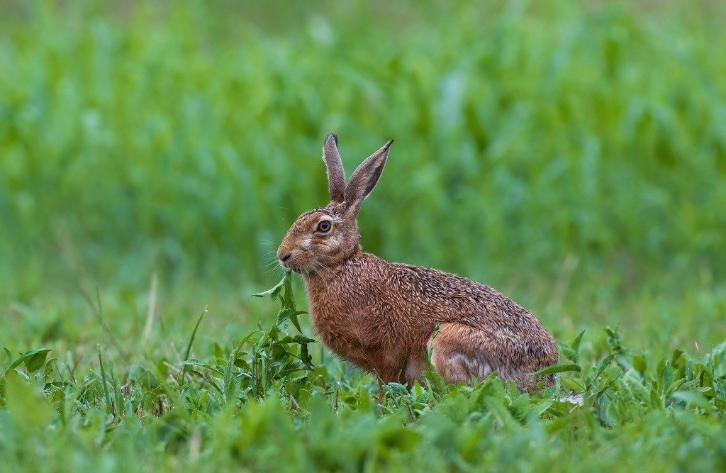 rabbit eating the weeds in the grass