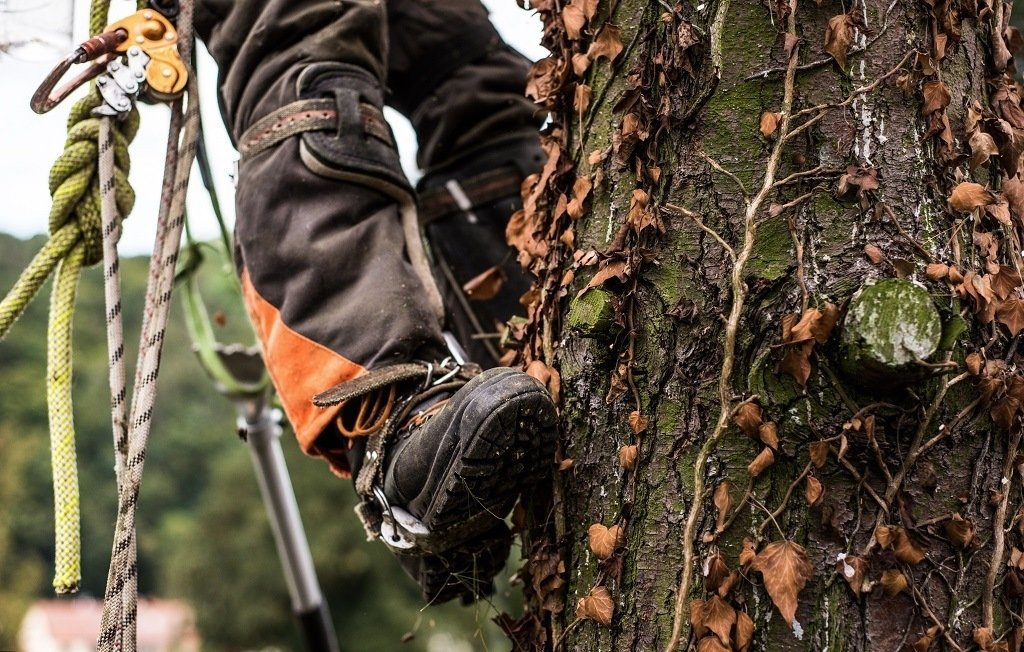 man trimming a tree wearing a safety harness and hard soled shoes
