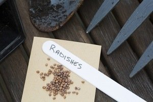 radish seeds ready to plant in the garden
