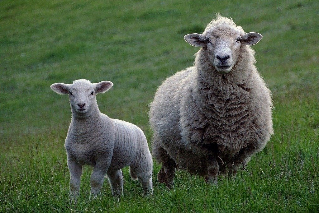 mother and baby sheep in the field