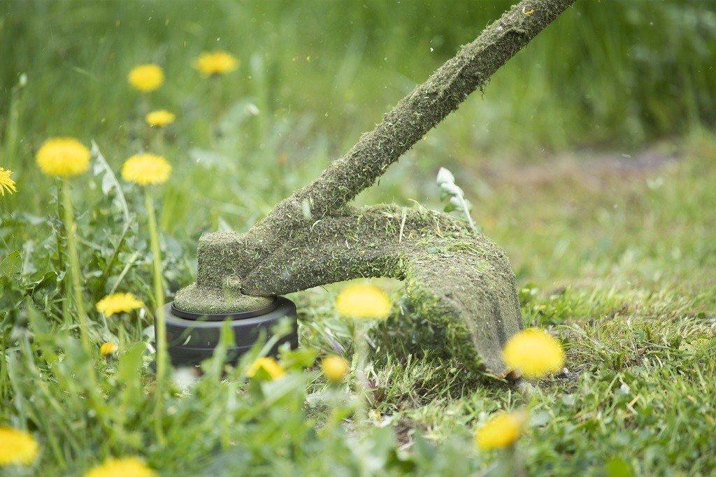 string trimmer cutting dandelion weeds