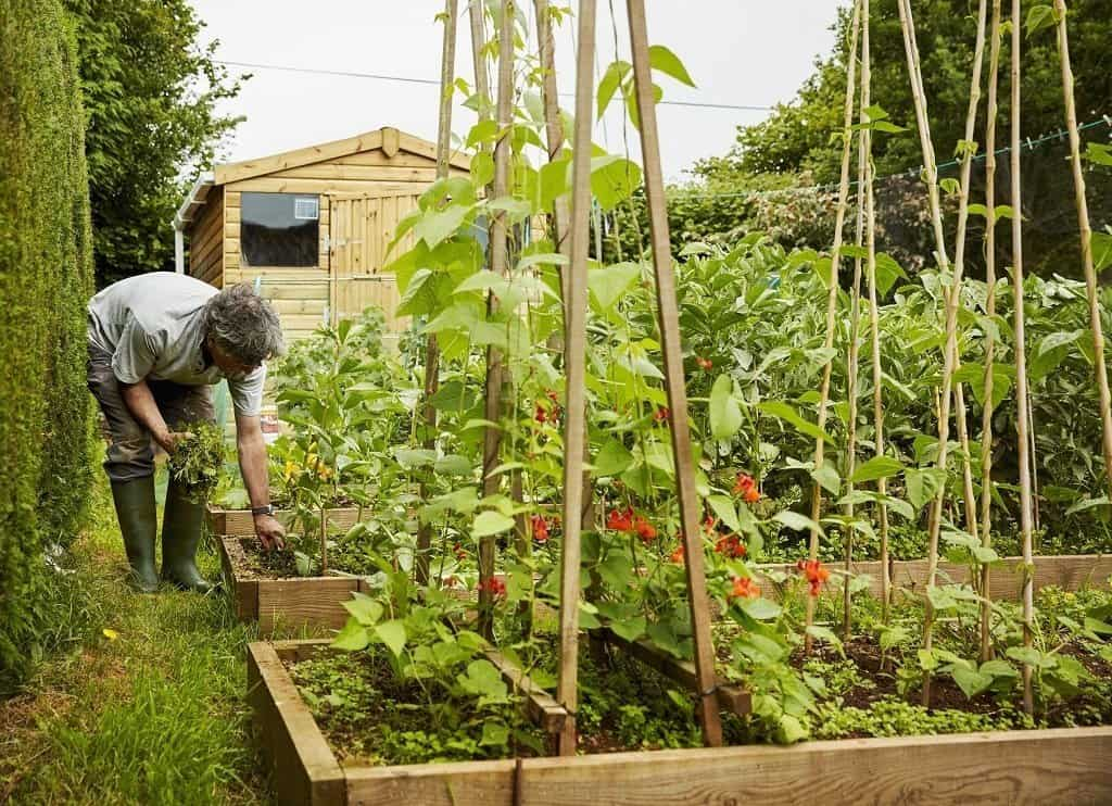 Raised garden bed filled with vegetables. Man in background weeding his plot.