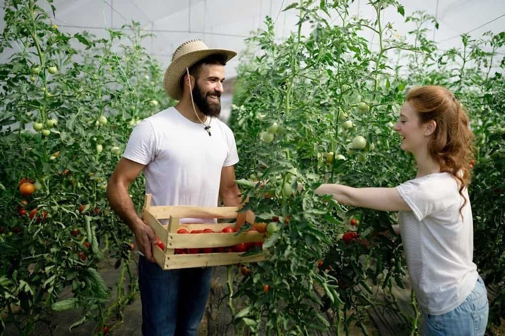 couple picking a crop of tomatoes to sell at market