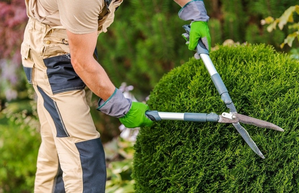 man pruning and shaping bushes with hedge shears